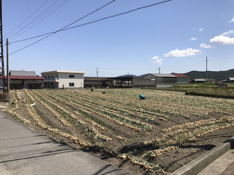 淡路島のたまねぎ畑