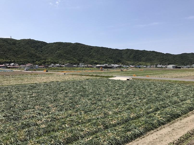 2017年6月淡路島玉ねぎ収穫シーン