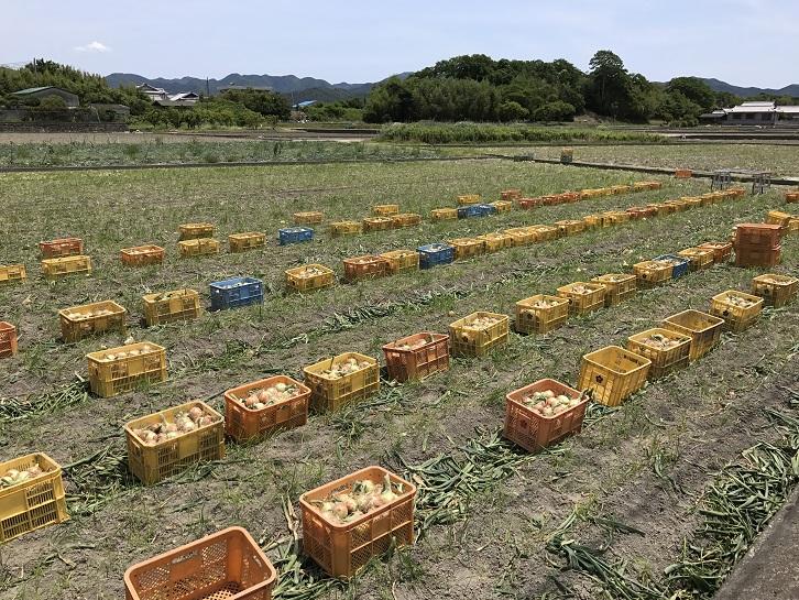 玉ねぎ畑と収穫された玉ねぎ