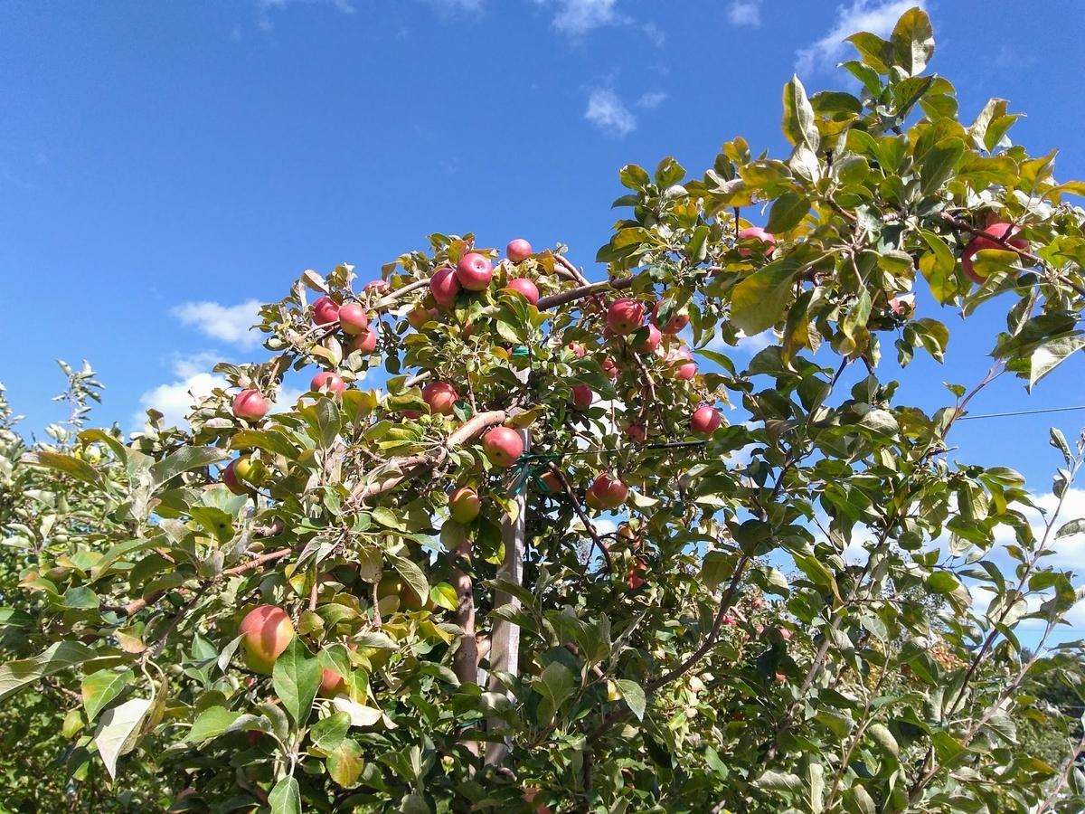 青空をバックにたわわにみのるりんごの木。