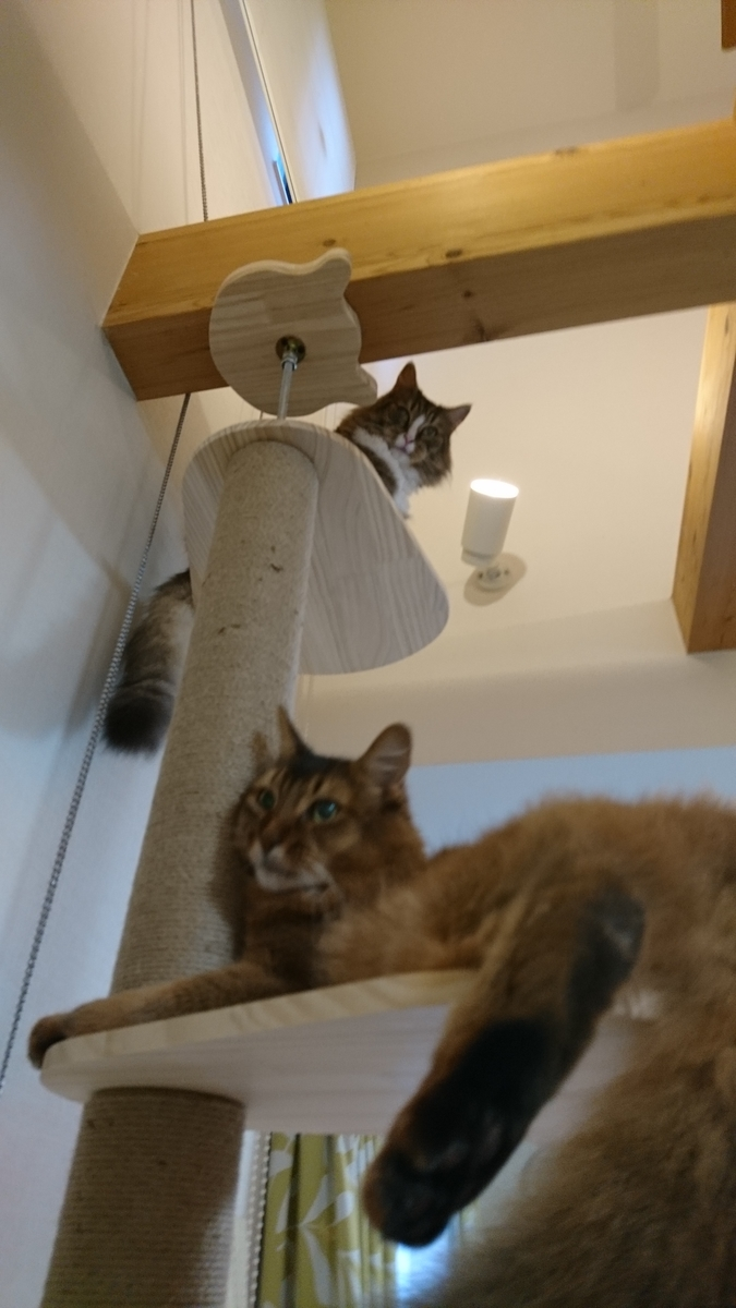 cat towerの上で寝そべる猫