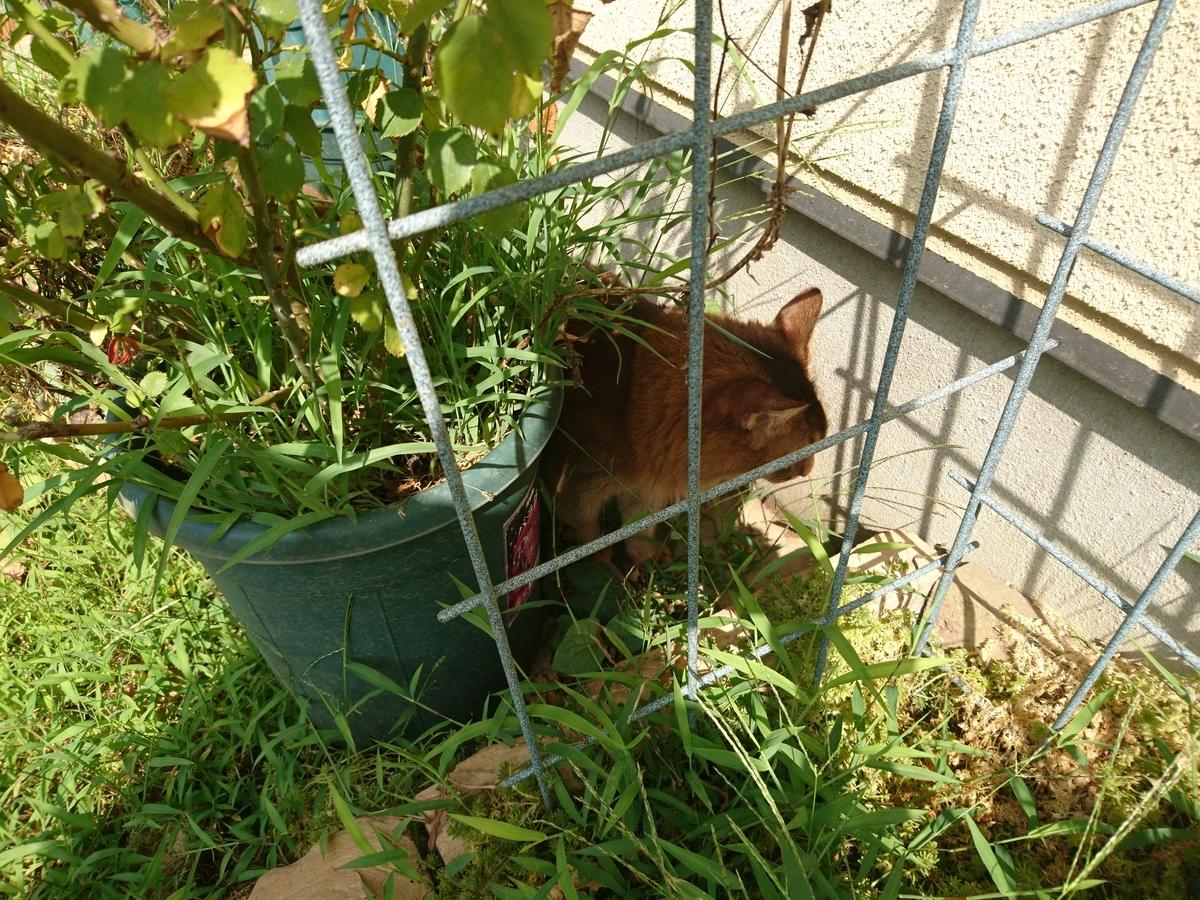 獲物を発見した猫、チー