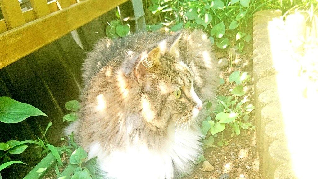 庭に出る猫、トト