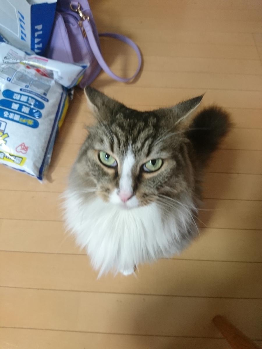 食事を要求する猫、トト