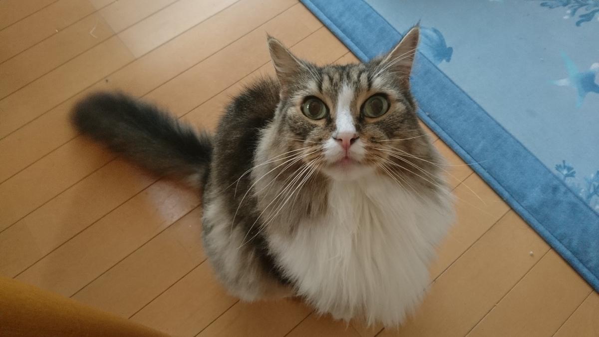 ご飯を催促する猫、トト