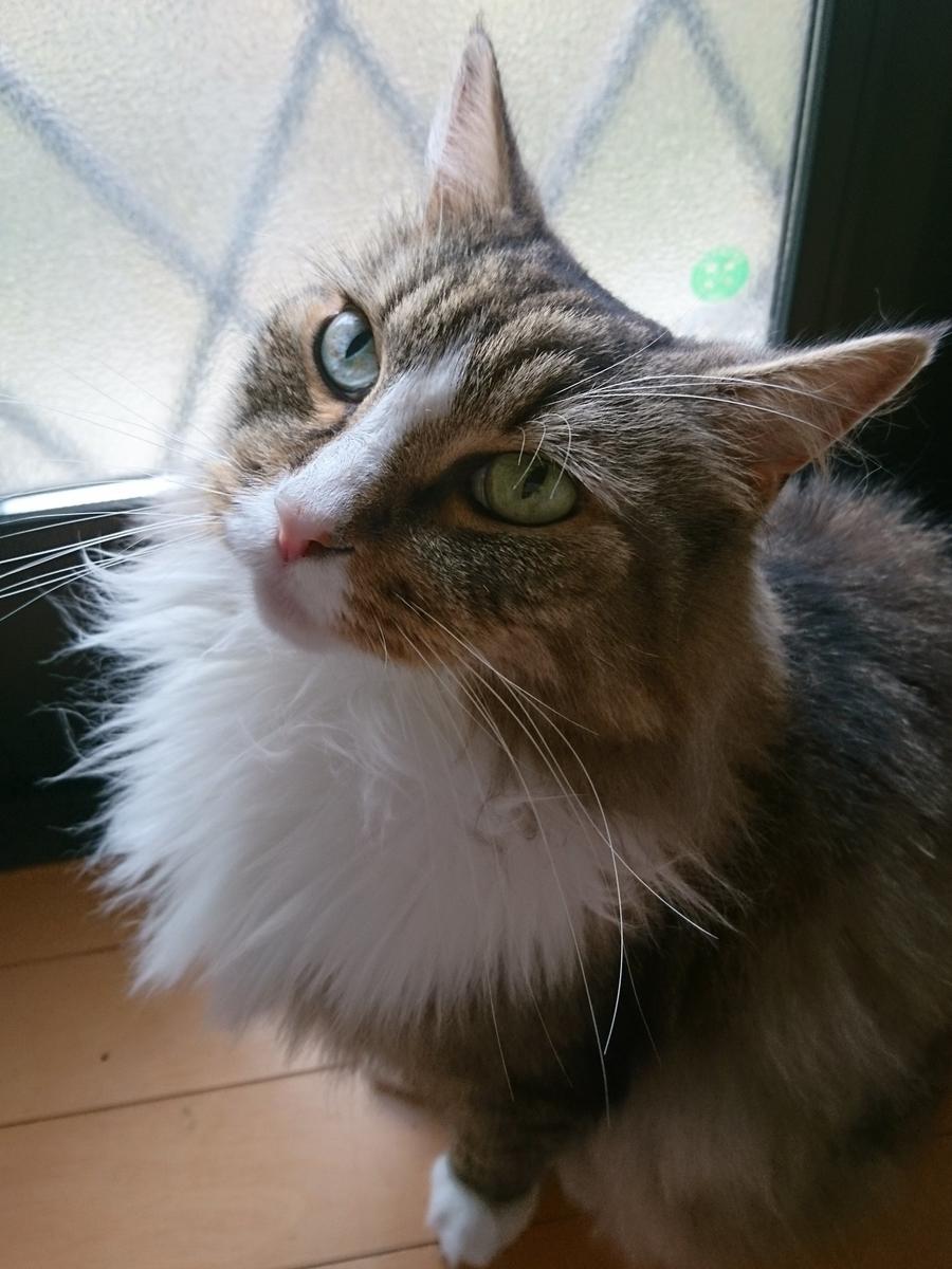 外に出してくれと要求する猫、トト