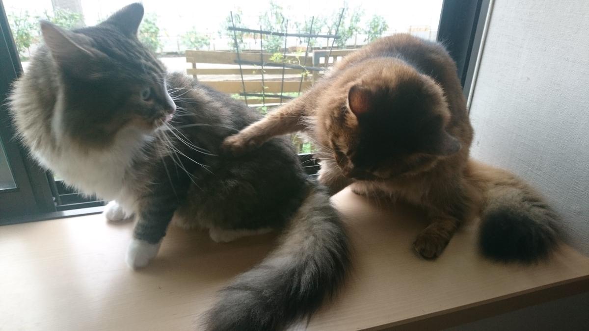 喧嘩する猫、トトとチー