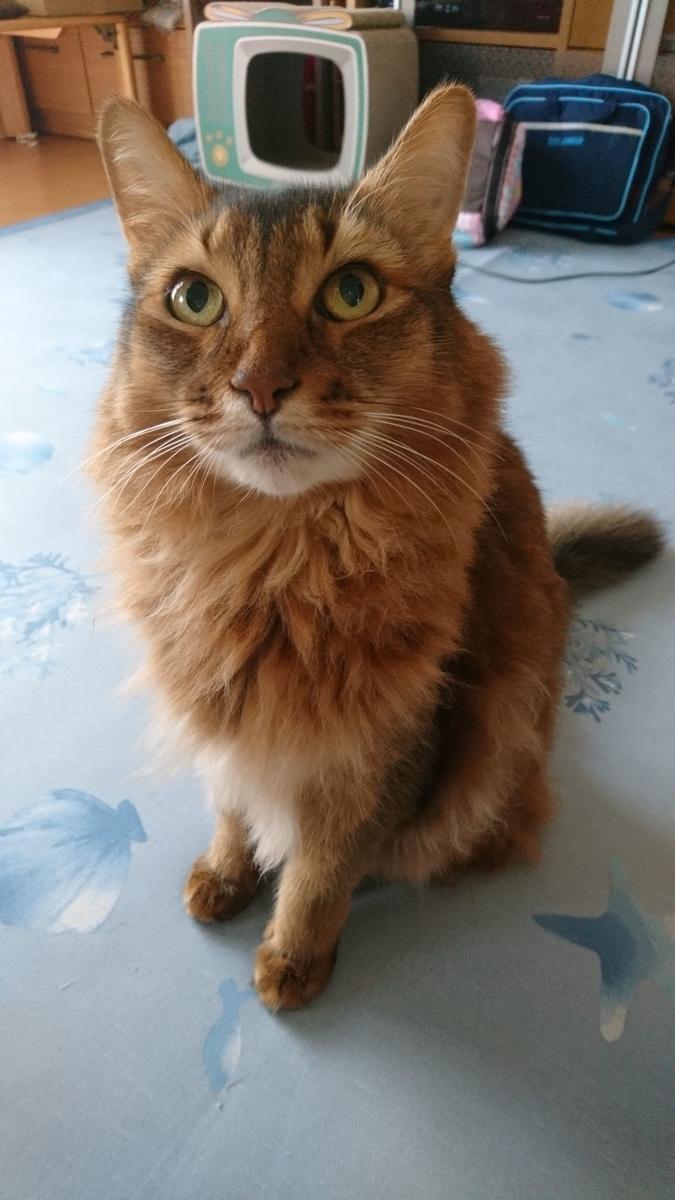 訴えかけている猫、チー