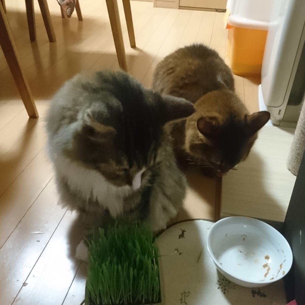 猫草を食べる猫、トトとチー