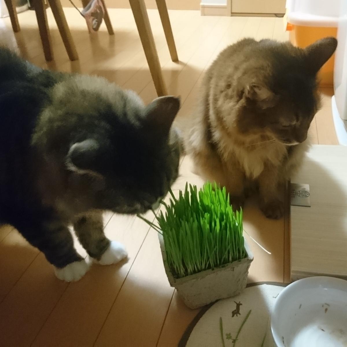 猫草に群がる猫、トトとチー