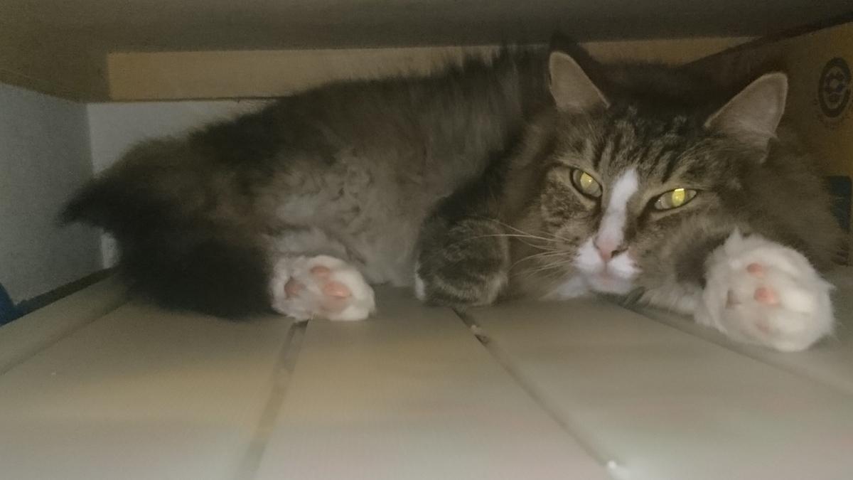 押し入れに隠れる猫、トト