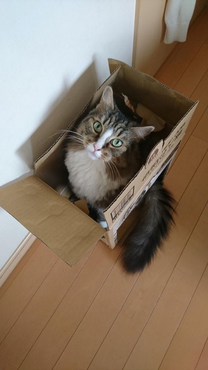 段ボールに入る猫、トト