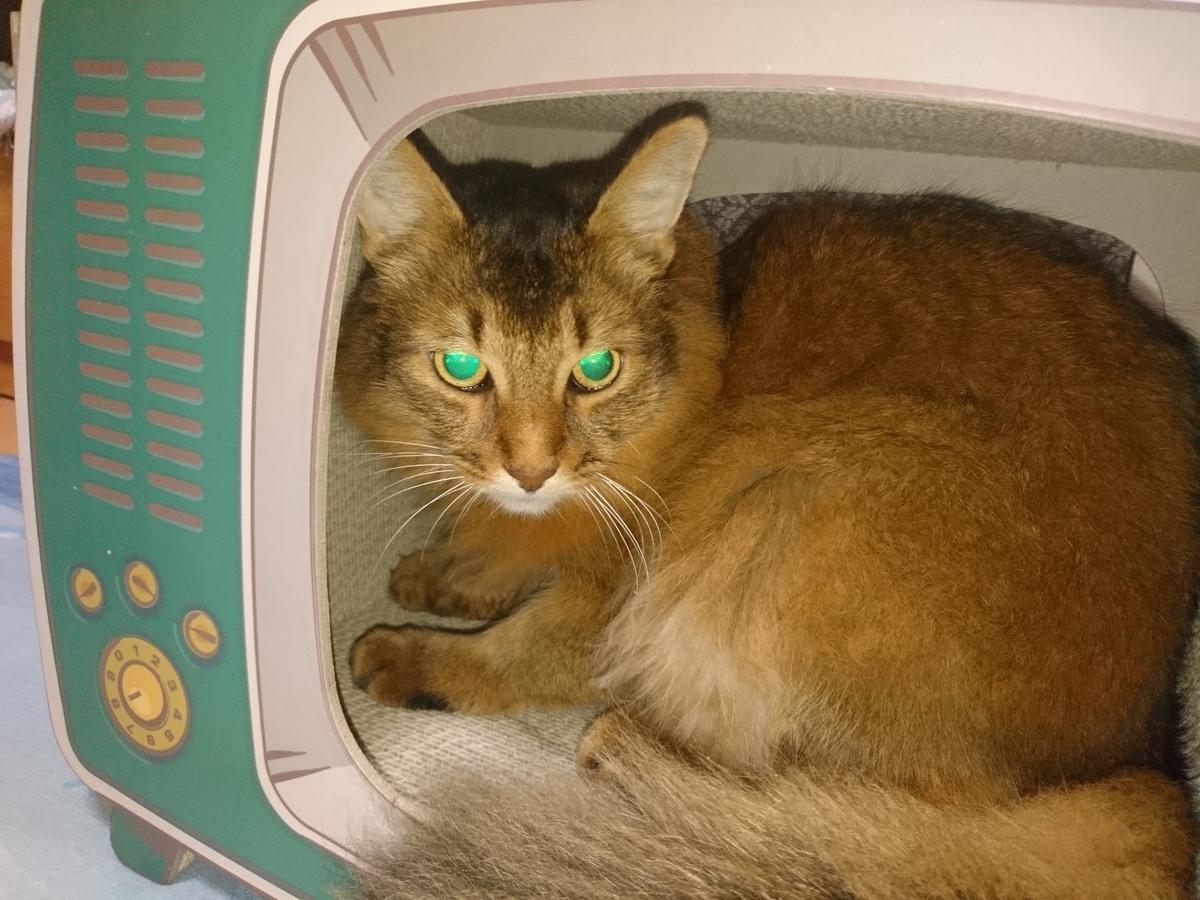 箱に入る猫、チー