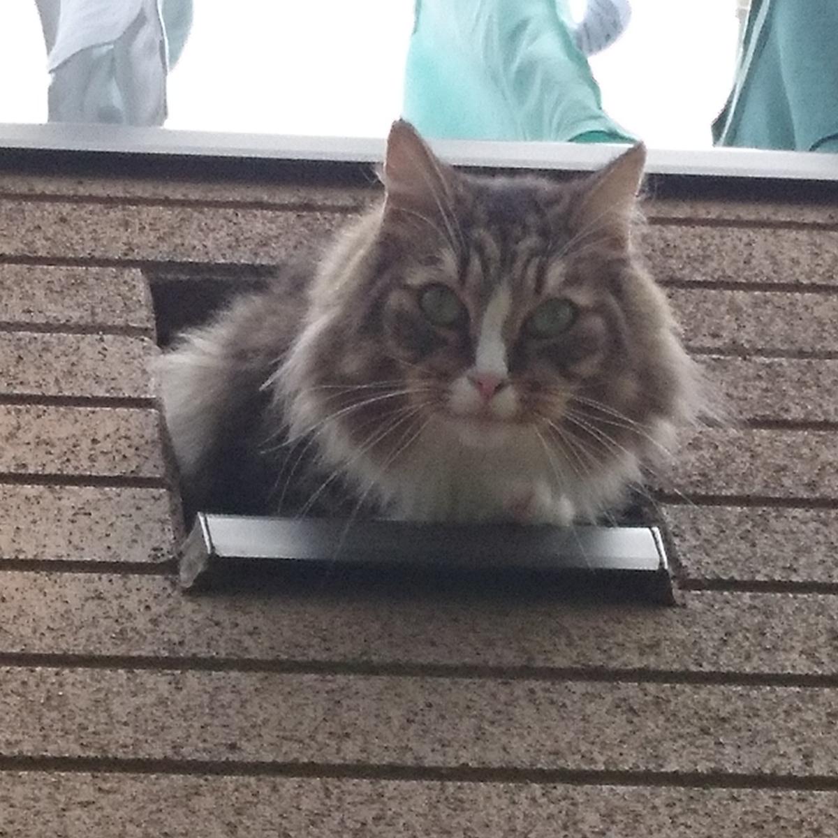 ベランダからお顔を出す猫、トト