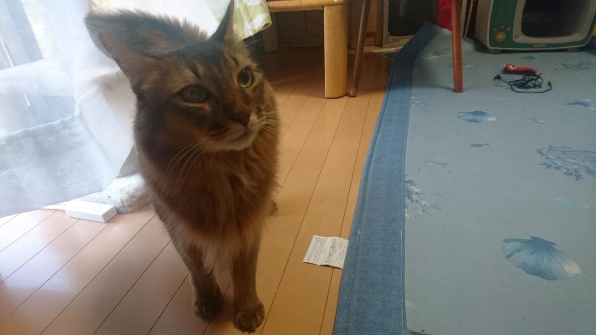 じっと見つめる猫、チー