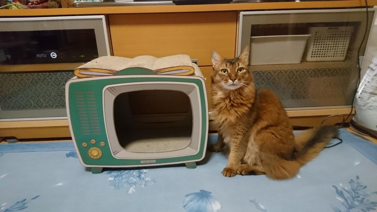 爪とぎTVで遊ぶ猫、チー