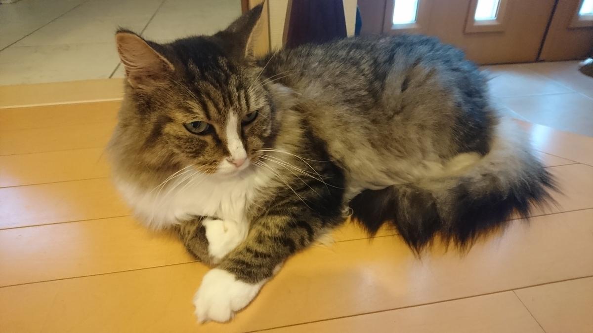 玄関で寝る猫、トト
