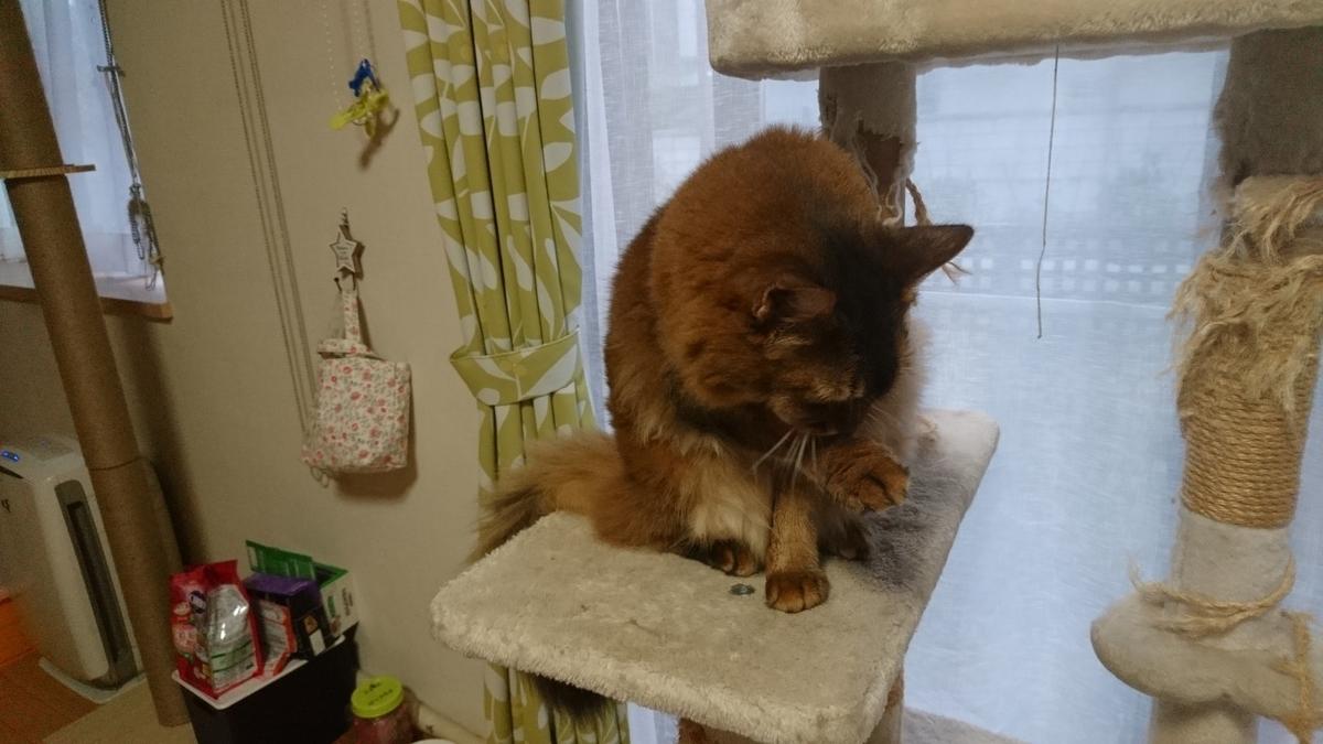 毛づくろいする猫、チー