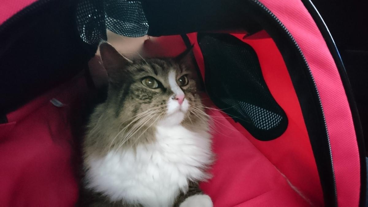 キャリーバックの中の猫、トト