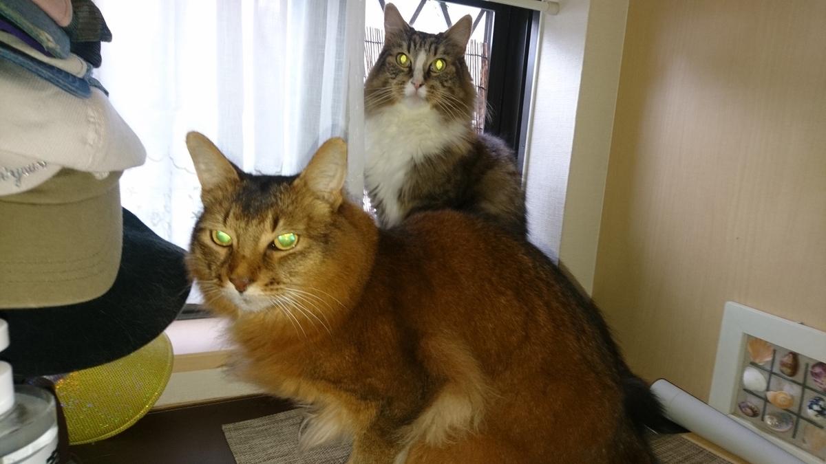 二匹一緒の猫、トトとチー