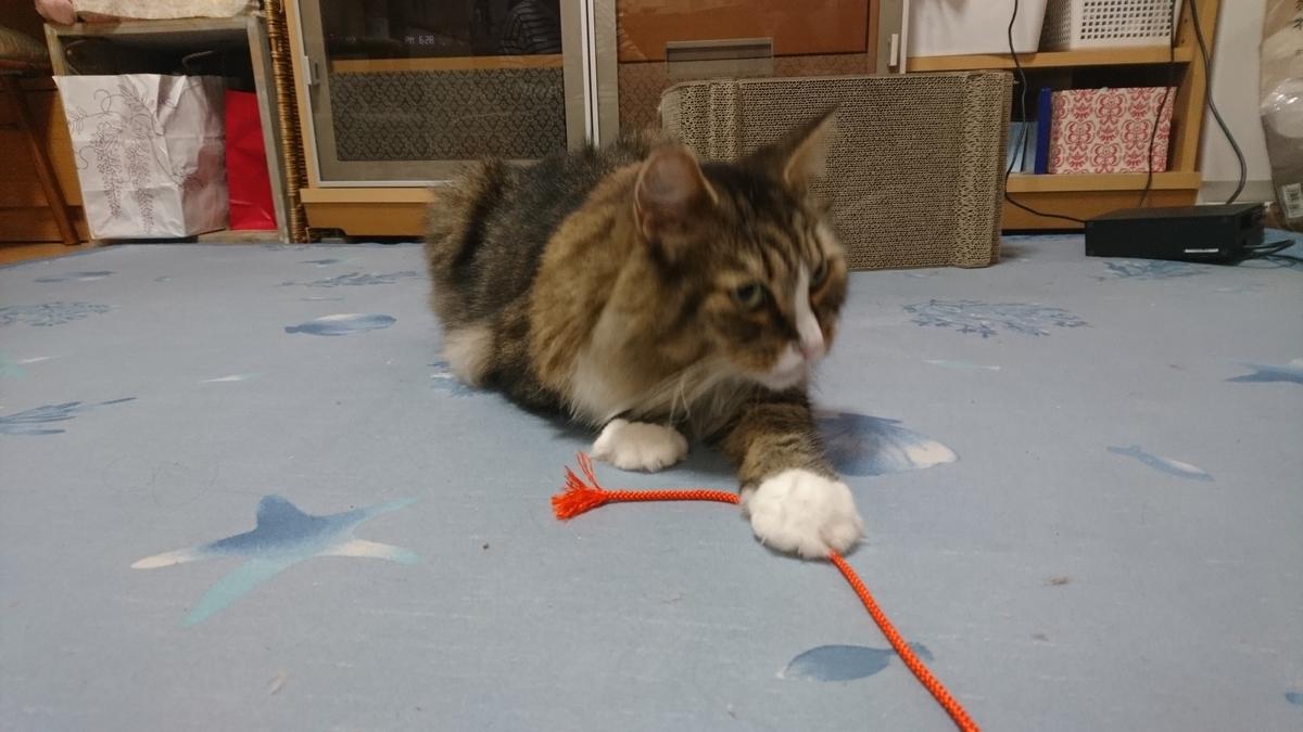 ひもで遊ぶ猫、トト