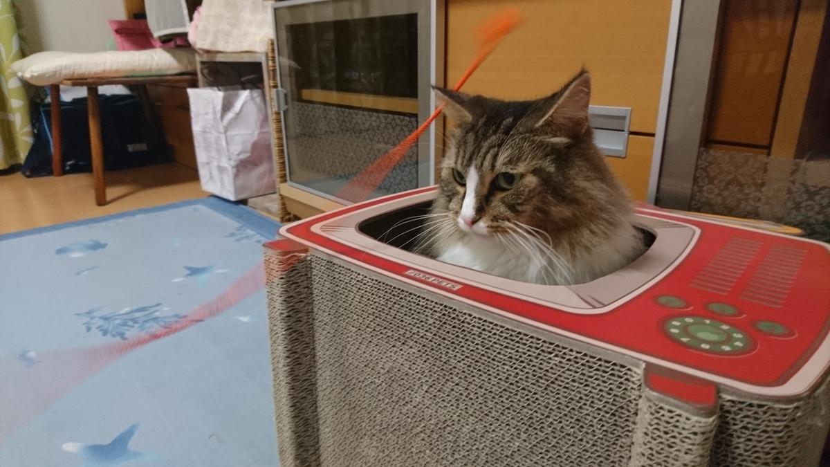 ひもに反応できない猫、トト