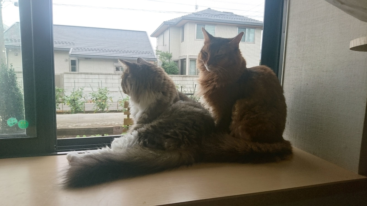 窓辺で戯れる猫、トトとチー