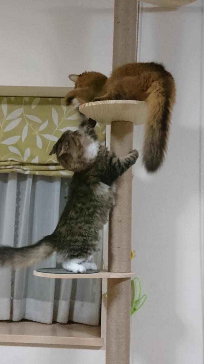 CAT TOWERで戦う猫、トトとチー