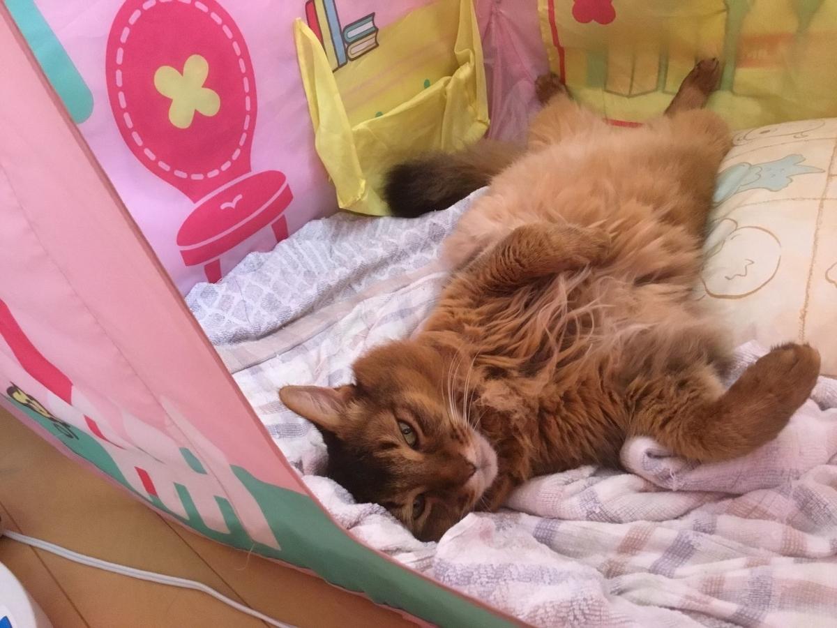 寝床で寝る猫、チー
