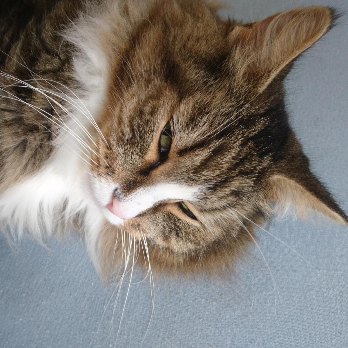 眠い猫、トト