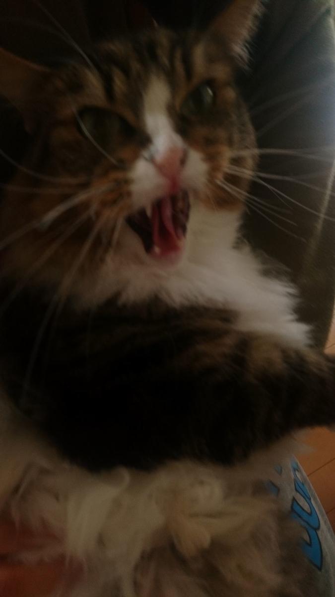 威嚇する猫、トト