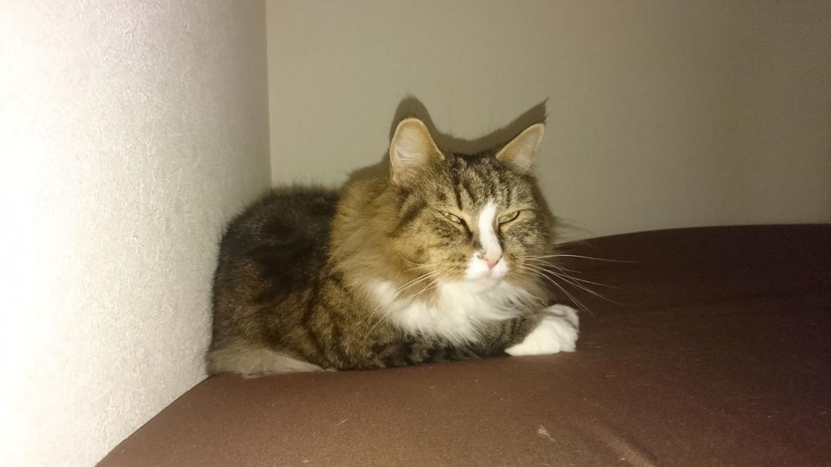 ふてくされて寝る猫、トト