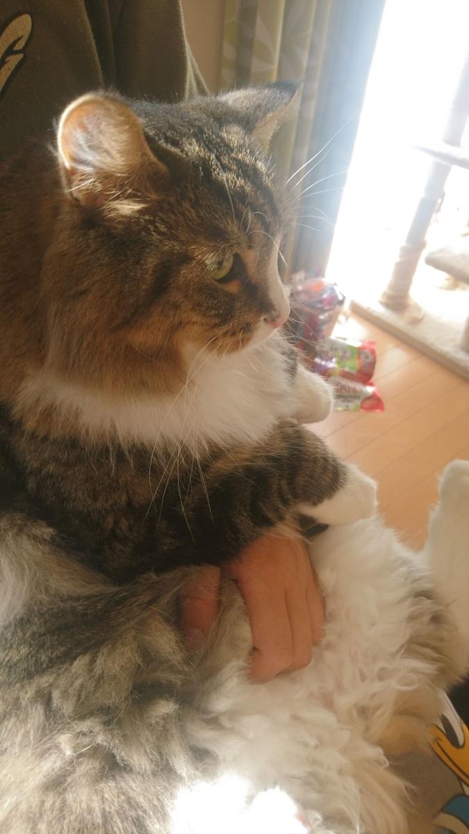 抱っこされる猫、トト