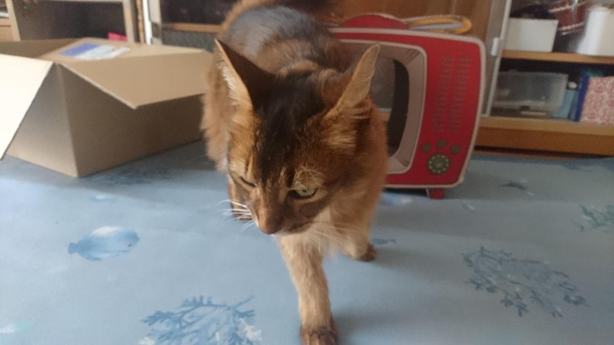 歩み去る猫、チー