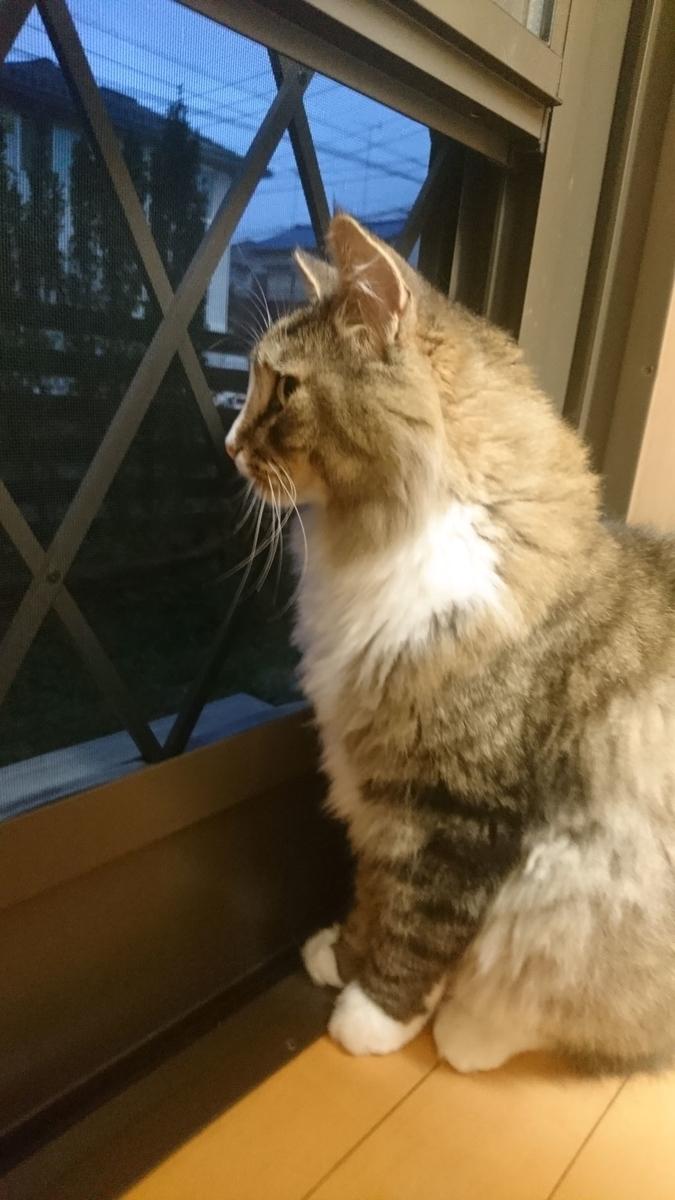 外を眺める猫、トト