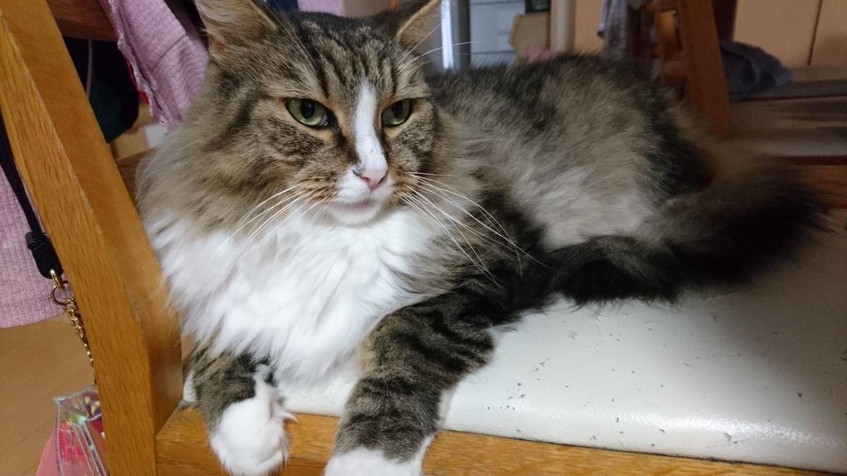 母さんの椅子でリラックスする猫、トト