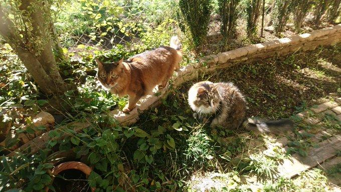 猫のお散歩、トトとチー