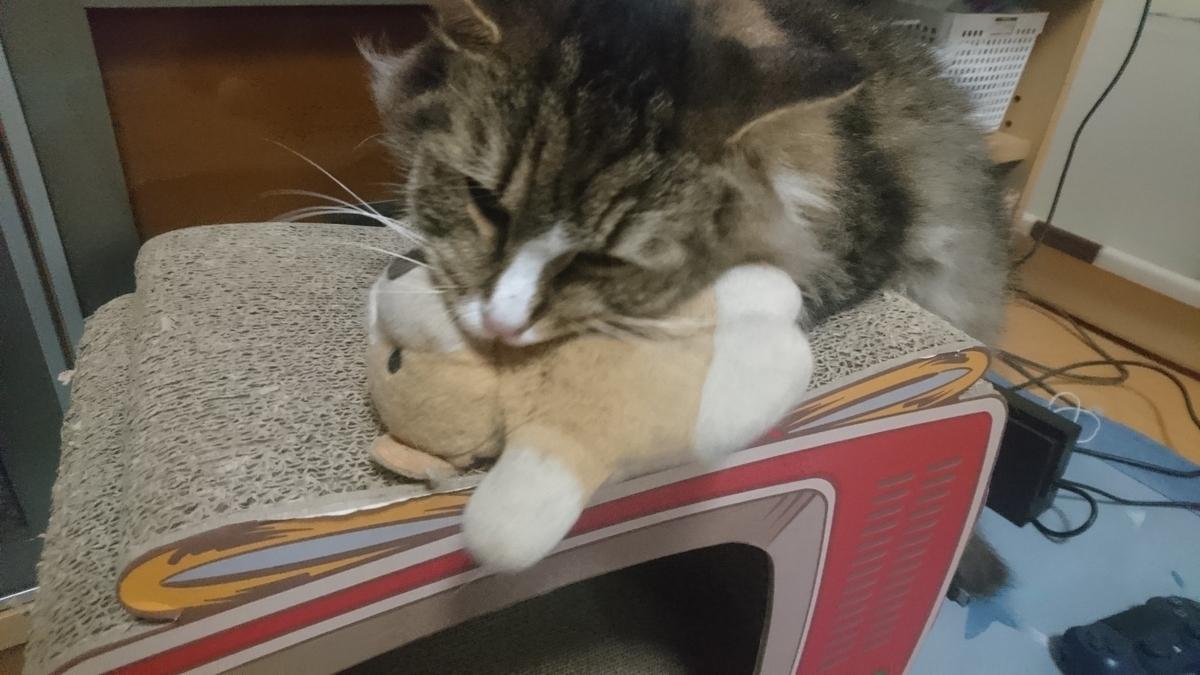 お気に入りのぬいぐるみをかじる猫、トト