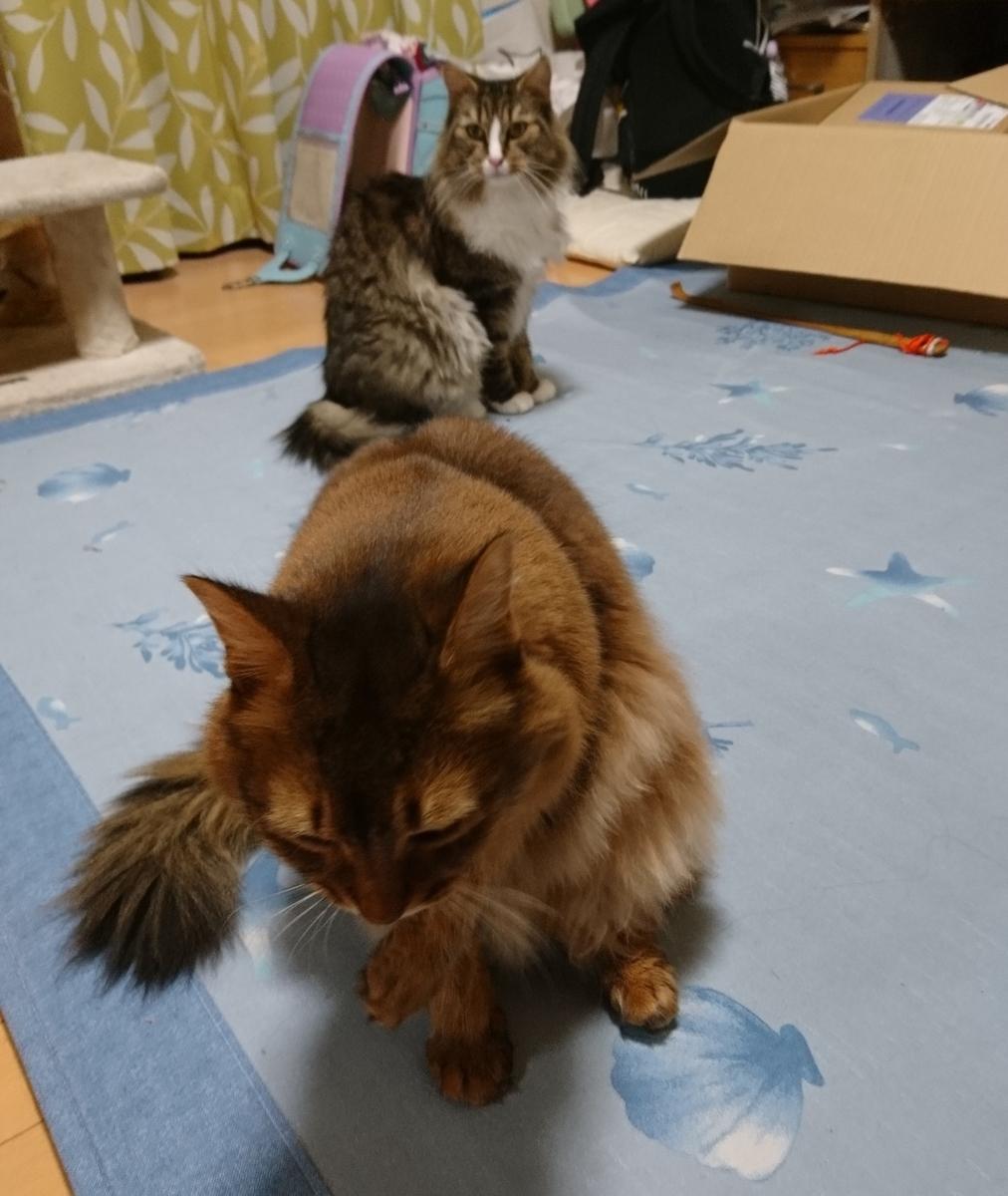 遠近法、二匹の猫、トトとチー