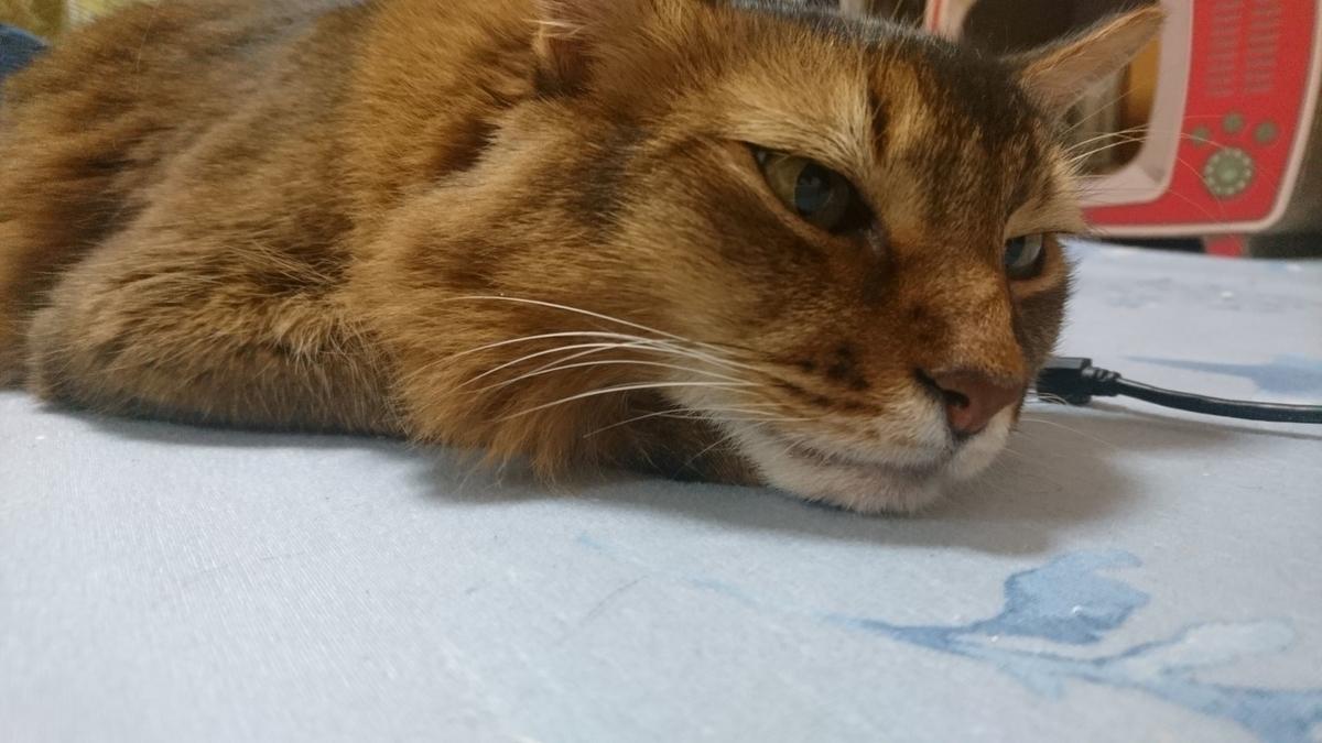 ホットカーペットでのんびりする猫、チー