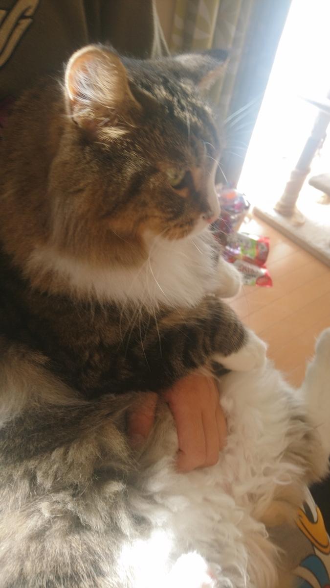 おとなしく抱っこされる猫、トト