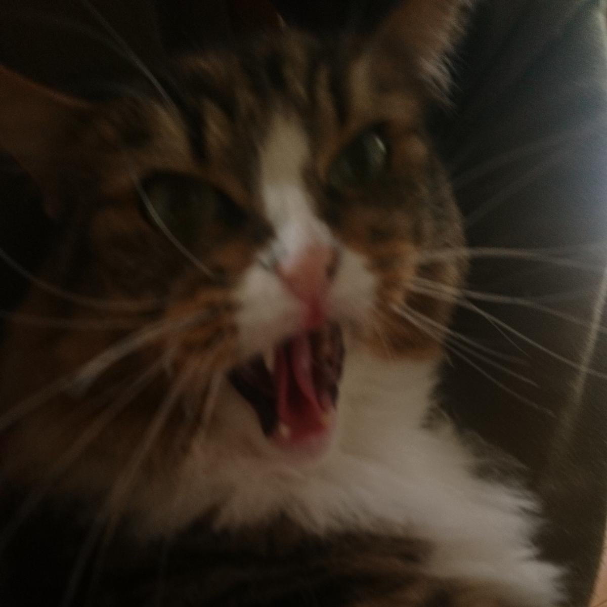 父に歯向かう猫、トト