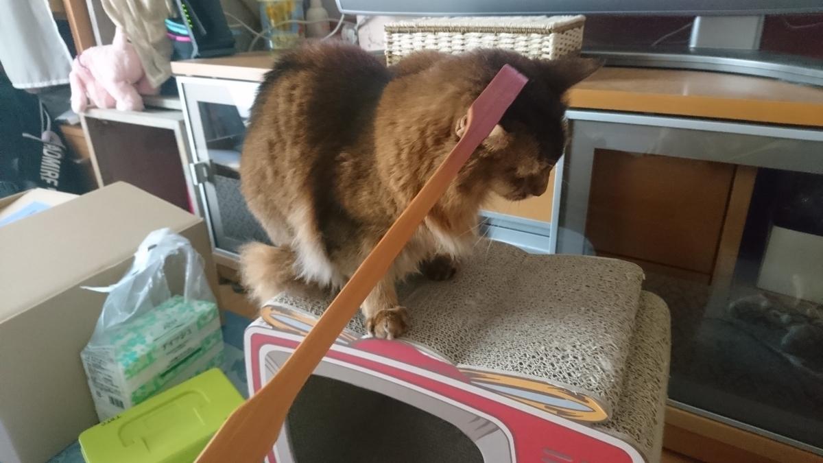 痒い所をかいてもらう猫、チー