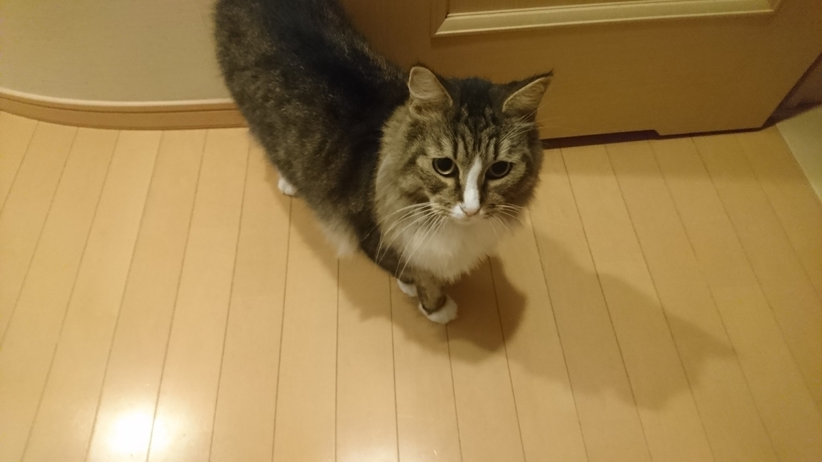餌をねだる猫、トト