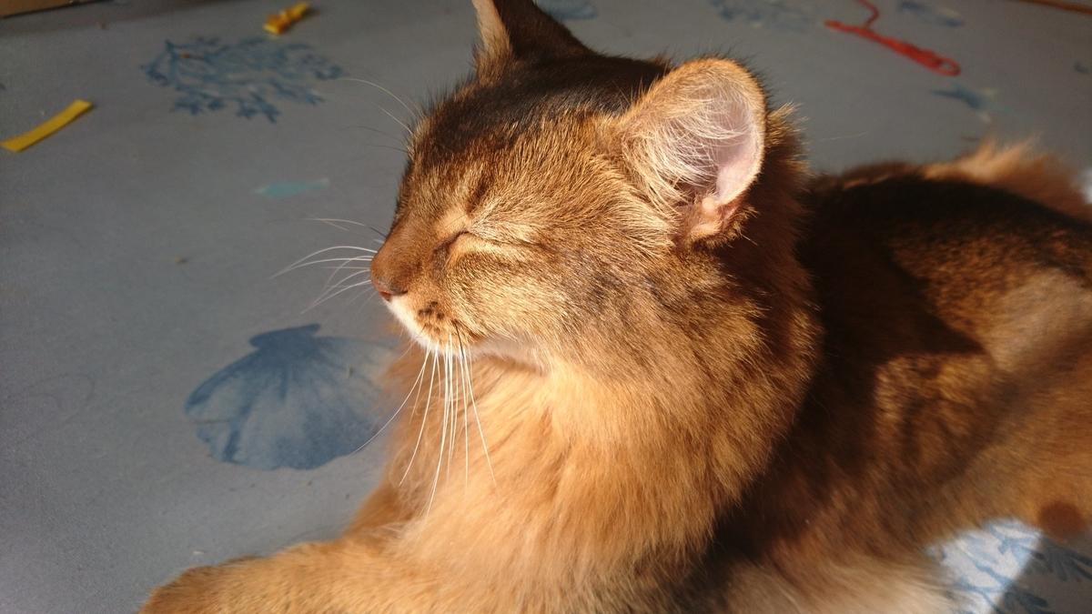 暖かいから眠たい猫、チー