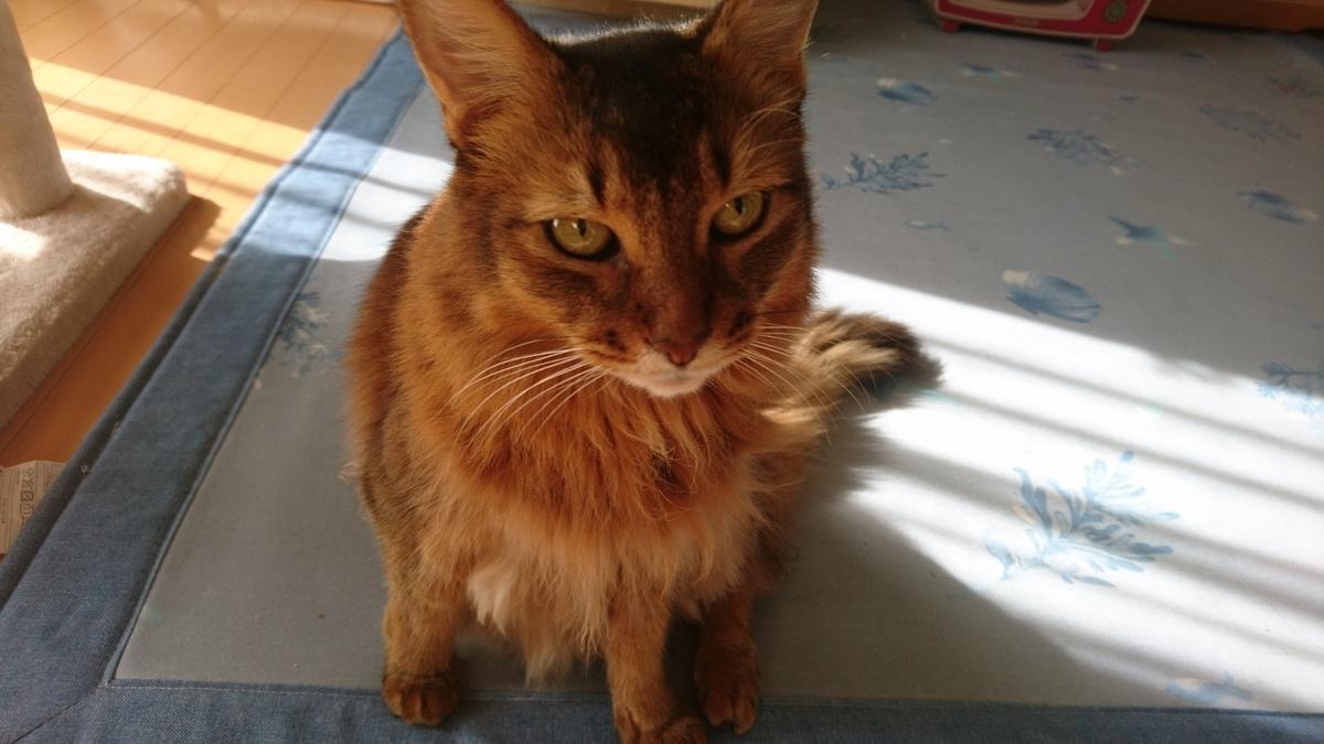 目つきが悪い猫、チー