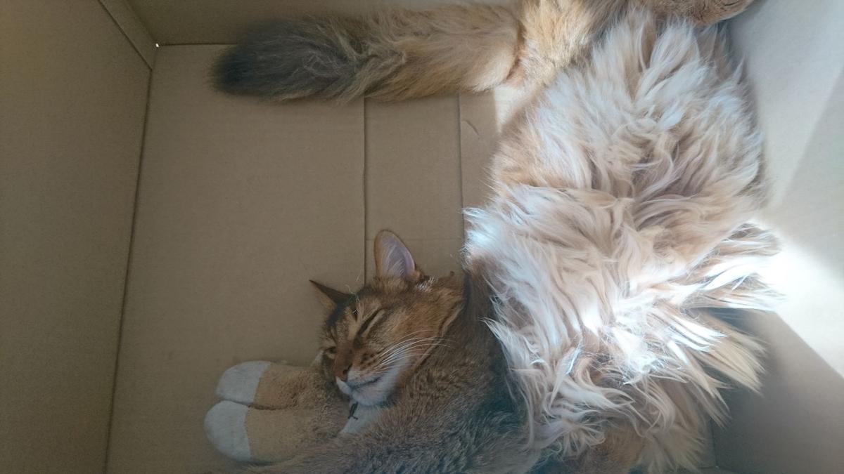 箱の中で寝る猫、チー