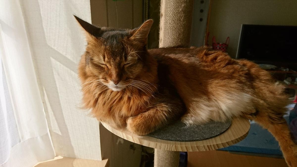 寝起きの猫、チー
