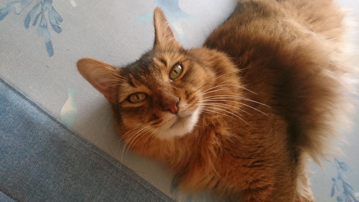目で訴える猫、チー