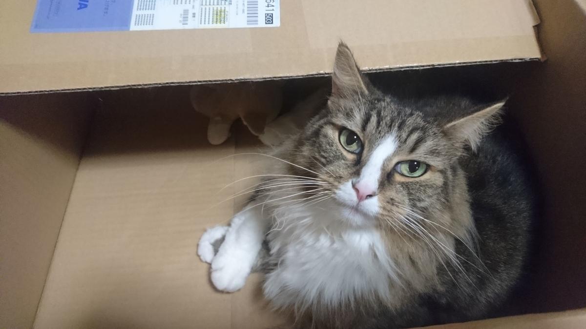 箱の中でスタンバイOKな猫、トト